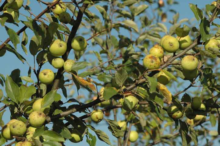 Apfelsorte Bedan