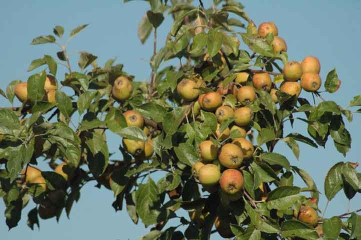 Apfelsorte, würzig, aber etwa nur walnussgroß