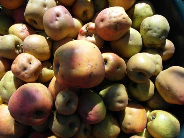 Apfelsorte Douce Moen