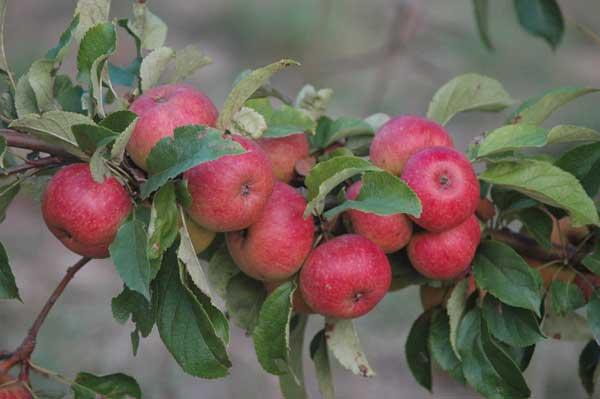 gesunde Äpfel und trotzdem nicht gespritzt
