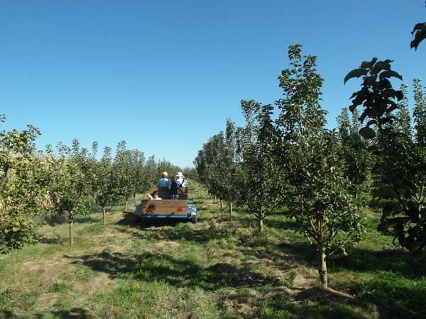 Die Hansa/Schmiedag 50D in Action auf dem Weg zu den vollen Apfelkörben