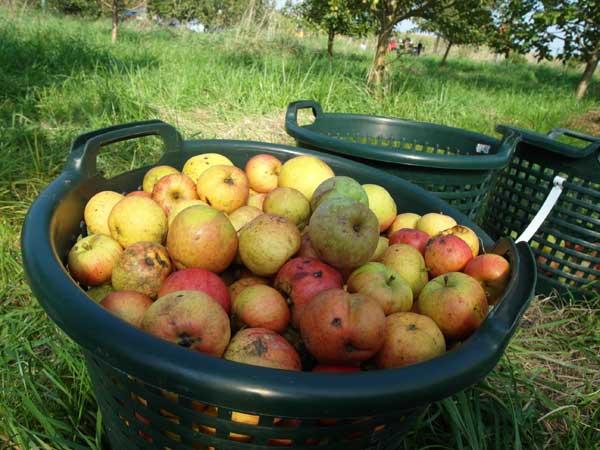Diese Äpfel sind nicht gespritzt, sieht man deutlich