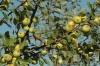 Apfelsorte
