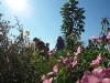 Saatgutgewinnung von der Bienenweidemischung