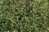 Gundermann-Rasen, von Bienen und Hummeln sehr geliebt