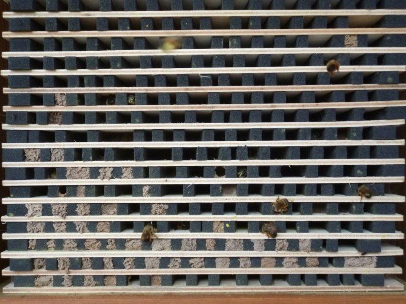 Die Rote Mauerbiene hat die Nisthilfen angenommen