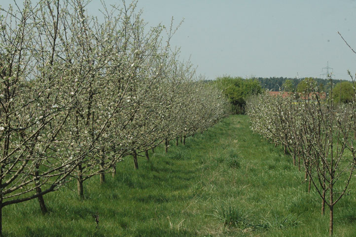 blühende Äpfel